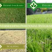 Overseeding with Perennial Ryegrass