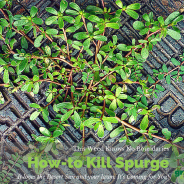 How-to Kill Spurge in Your Lawn This Summer