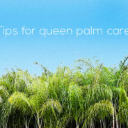 Tree Care: Queen Palm